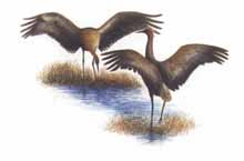 Luck: The Story of a Sandhill Crane